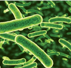 Gut microbiome - Lactobacillus rhamnosus GG